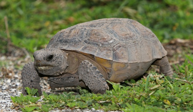 "Orlando Weekly- Gopher tortoises don't swim. They sink. However, a recent SnapChat from a Florida woman shows her ""saving"" a poor gopher tortoise by hurling it into a lake. ""Here's a little note to self to anyone who finds a turtle – save it. Don't just leave it on the road. They're so cute,"" says the woman, holding the doomed reptile.   ""Turtle saving is a hobby,"" she proclaims before sending the little guy to a watery grave.  Apparently Floridians tossing gopher tortoises into water is a recurring problem. This unfortunate turtle death comes only 5 months after a string of incidents where people ""helped"" tortoises into the ocean. News13 even ran a story titled, ""Gopher tortoises don't swim. Don't help them into the ocean."" According to the the FWC, gopher tortoises are a threatened species and are currently protected under Florida state law."