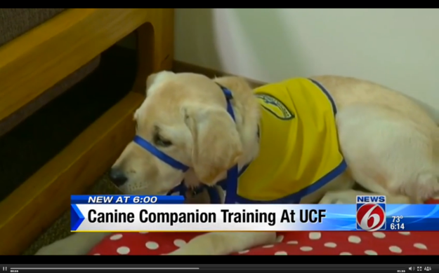 "ORLANDO, Fla. - There is a new student enrolled at the University of Central Florida this semester. She might be young and even a bit furry, but that isn't stopping the pup from working toward her own very special degree. The puppy, 5-month-old Robin, is the first assistance dog in training living on the UCF campus. It's all part of a new partnership UCF has with Canine Companions for Independence. Robin's roommate and student trainer is sophomore Morgan Bell, who will volunteer her time over the next year training Robin on over 30 commands and basic obedient skills, including walking on a leash and behaving in public.Bell explained the first time she saw Robin. ""She was just this sleepy little nugget,"" Bell said. ""Like, she was in her kennel and all curled up. It was love at first sight."" Bell rattled off the commands Robin knows?. ""So far she knows her name, down, sit, dress, kennel,"" Bell said. The dynamic duo will be seen around campus as Robin learns to socialize in different environments. It can include meeting strangers, attending classes and other social situations, giving her the opportunity to experience the real world around her. ""We raise assistant dogs to individuals with developmental disabilities or other injuries,"" said LeAnn Sieffereman, Canine Companion's Puppy Program manager. So the duo will have to part ways eventually, as Robin will move on to care and support someone in need. ?""Just thinking she is going to go and help someone else is, she's given me, and I want her to give that to someone, too,"" Bell said. ? Robin will stay at UCF for another year before she graduates to her master's degree and then hopefully finds a match."