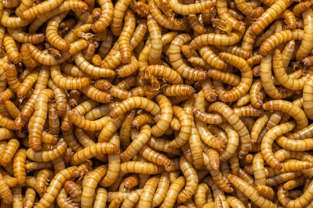 "(CNN)Plastic, long considered nonbiodegradable and one of the biggest contributors to global pollution, might have met its match: The small, brownish, squirmy mealworm. Researchers have learned that the mealworm can live on a diet of Styrofoam and other types of plastic. Inside the mealworm's gut are microorganisms that are able to biodegrade polyethylene, a common form of plastic, according to new studies published in Environmental Science and Technology by co-authors Professor Jun Yang and his doctorate student Yu Yang of Beihang University, and Stanford University engineer Wei-Min Wu. ""The findings are revolutionary. This is one of the biggest breakthroughs in environmental science in the past 10 years,"" Wu said in an interview with CNN. He added that the findings could help solve the plastic pollution problem affecting the world. The research documented 100 mealworms that consumed 34 to 39 milligrams of Styrofoam, which is about the weight of a pill, every day. Scientists also paid attention to the mealworms' overall health and saw larvae that ate a diet subsisting strictly of Styrofoam were as healthy as mealworms eating a normal diet of bran. Researchers found that mealworms transformed the plastic they ate into carbon dioxide, worm biomass and biodegradable waste. This waste seemed safe to use in soil for plants and even crops, the studies said. Being able to find insects that can safely degrade plastic is critical to potential pollution management because other insects such as cockroaches can also consume plastic, but they have not shown biodegradation, Wu said."