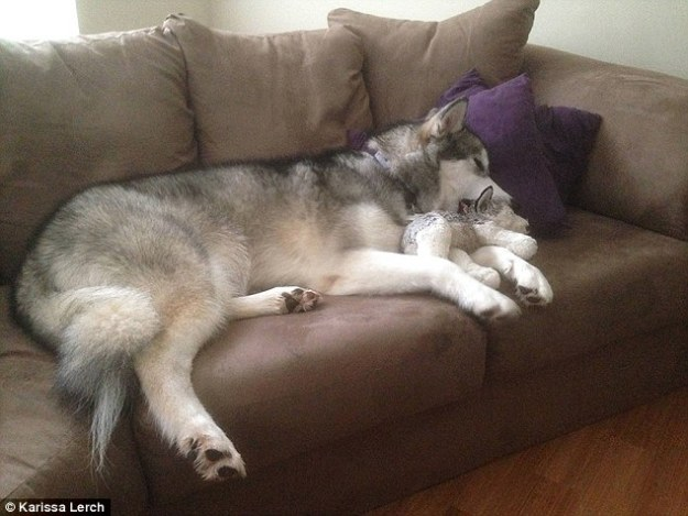 An 18-month-old Alaskan Malamute is winning thousands of fans online after her owner documented her relationship with her favorite toy. Before Karissa Lerch, 24, from Durham, North Carolina, bought Luca, she had wanted a dog for some time, but couldn't afford one. Eventually she bought herself a toy wolf from Toys-R-Us to tide her over. Years later, when she was finally able to get a real dog, Karissa was more than happy to offer her plush companion to the eight-week-old Luca. 'I passed the stuffed animal down to her and she has kept it by her side at all times ever since,' Karissa wrote on Reddit. 'It's her baby. She carries it around everywhere and always has it with her when she goes to bed.' The toy dog was originally also named Luca, but as that became confusing, the family renamed the plush pop 'Mr Wolf'. According to Karissa, the toy is 'definitely not dog durable, but [Luca] is super gentle with it.'
