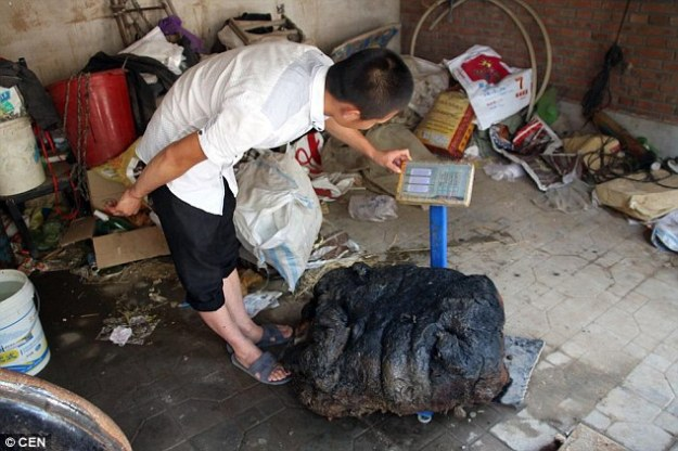 A farmer in China is hoping to sell a rare mushroom so that her son could afford to find a wife. The woman, from the village of Xianghe, said her son, named Xiao Li, found the 176-pound giant mushroom a few days ago in a pond, reported People's Daily Online.   The family have shown the media their treasured fungus, known as Tai Sui, which is considered to be the medicine for immortality in traditional Chinese medicine. According to the report, Xiao Li picked up the priced fungus while catching fish in a pond near his house. He said at first he didn't know what it was. Li said: 'I touched a soft lump. At first I startled, then I examined further and realised it was massive.'  He and his father transported the mysterious object home with a tricycle. Li then added: 'I looked up online and realised it is Tai Sui and it has medical value.'  The family now hope experts could help them value the fungus which they keep in their warehouse. Li's mother is especially glad about the prized find. She told Chinese media that she expected the mushroom to bring the family a handsome profit. She added that her son is still single, so she hoped the money could help him to afford a wife.According to Chinese news site QQ, Tai Sui has multiple layers, ranging from a tough, yellow exterior to a delicate, pale cream interior.  The delicate interior is considered the most prized part and commands the highest prices. Experts believe the growth is a rare combination of bacterial, molds and fungus, which normally grows on decaying wood. Although variations of the mushroom has been used for medicinal purposes in China and Japan for more than two millennia, it's promise of longevity has never been officially proven. However, some active compounds isolated from the mushroom were shown to have anti-cancer properties in human trials according to the National Center for Biotechnology Information. What's more, the legends that surround the mushroom's magical powers, which are supposed to help people live forever without getting old, means that it continues to be in demand today.
