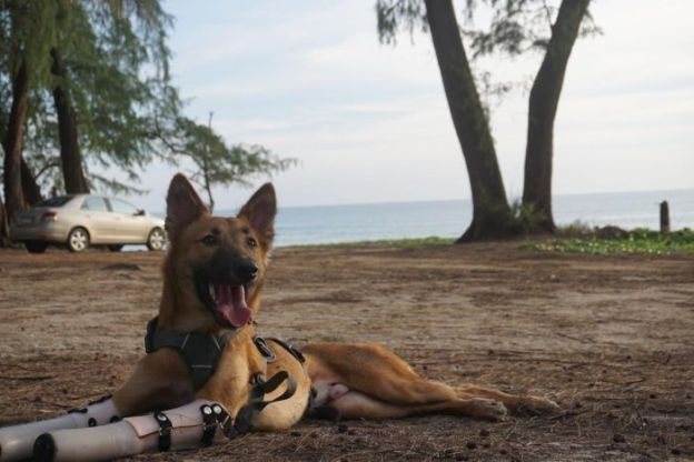 "Despite experiencing the worst of human kind, Cola the dog still manages to wag its tail and embrace a pat. The dog was nine months old when its front legs were hacked off with a sword by a neighbour as punishment for chewing a pair of shoes in Bangkok, Thailand. The horrific incident was reported to the Soi Dog Foundation — Asia's largest animal welfare group focused on stray cats and dogs — which jumped in to save Cola's life. Losing a lot of blood and on the brink of death, Cola was moved from a small clinic to a larger, experienced veterinary clinic in Bangkok. Now Cola is learning to walk again with the help of prosthetic legs. Soi Dog Foundation's video of Cola walking on his new prosthetics has been viewed more than six million times on Facebook since it was uploaded this week. Foundation co-founder John Dalley told the ABC Cola snuck next door and ""nibbled"" on his neighbours shoes. The dog's elderly owner offered the neighbour the equivalent of $40 to compensate, but they returned that night armed with a sword. In court, the man said the attack was an accident, Mr Dalley said. The man was issued one month's detention for the crime. Mr Dalley said Cola was adapting well to the new legs. ""He had wheels at first, just to keep him moving and get him going to allow the wounds to properly heal,"" he said. ""He managed to adapt to walking on his back legs only kangaroo-fashion, but with [prosthetic] legs on is able to run and play."